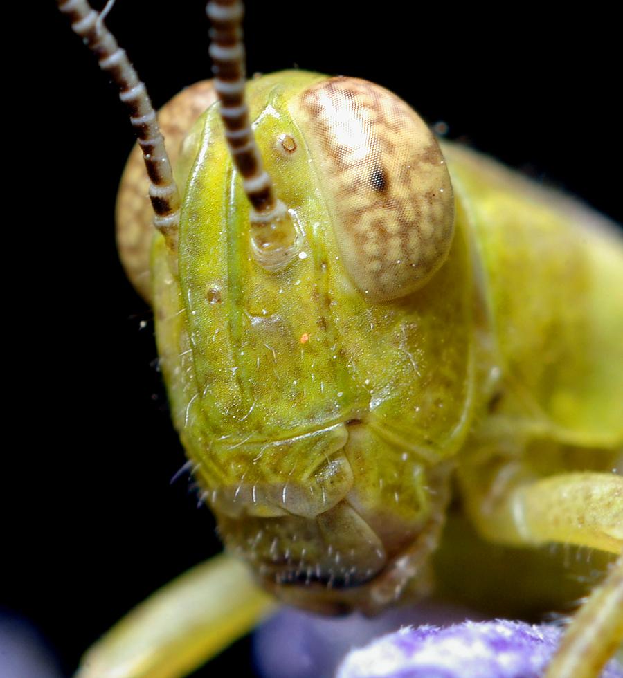 Grasshopper Кузнечик